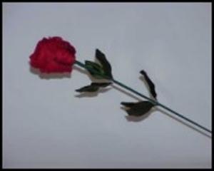 Rose Bud to Silk - Tom Yurasits